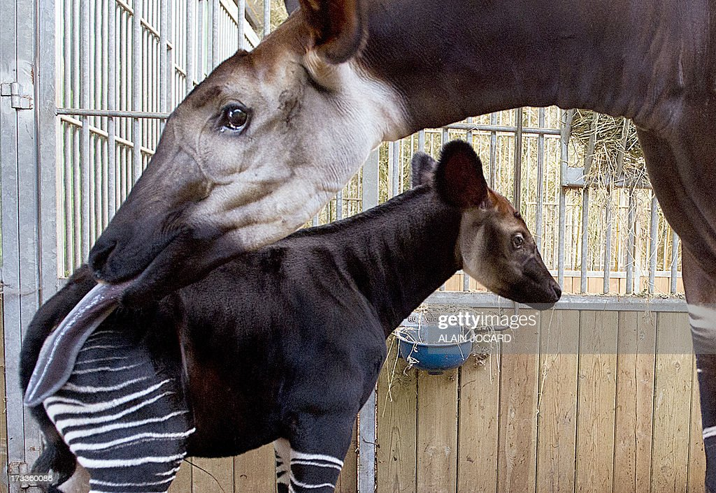 A baby okapi (L) born on June 23 and named 'Mbuti' is pictured on July 12, 2013 with its mother 'kamina' at the Beauval zoo in Saint-Aignan, central France.