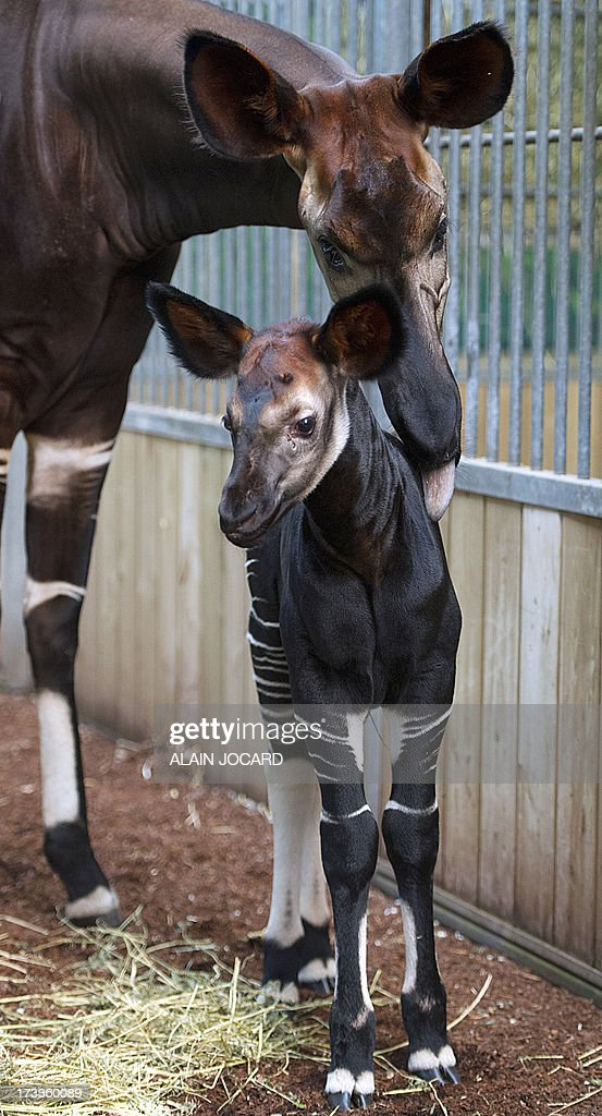 A baby okapi (Down) born on June 23 and named 'Mbuti' is pictured on July 12, 2013 with its mother 'kamina' at the Beauval zoo in Saint-Aignan, central France.