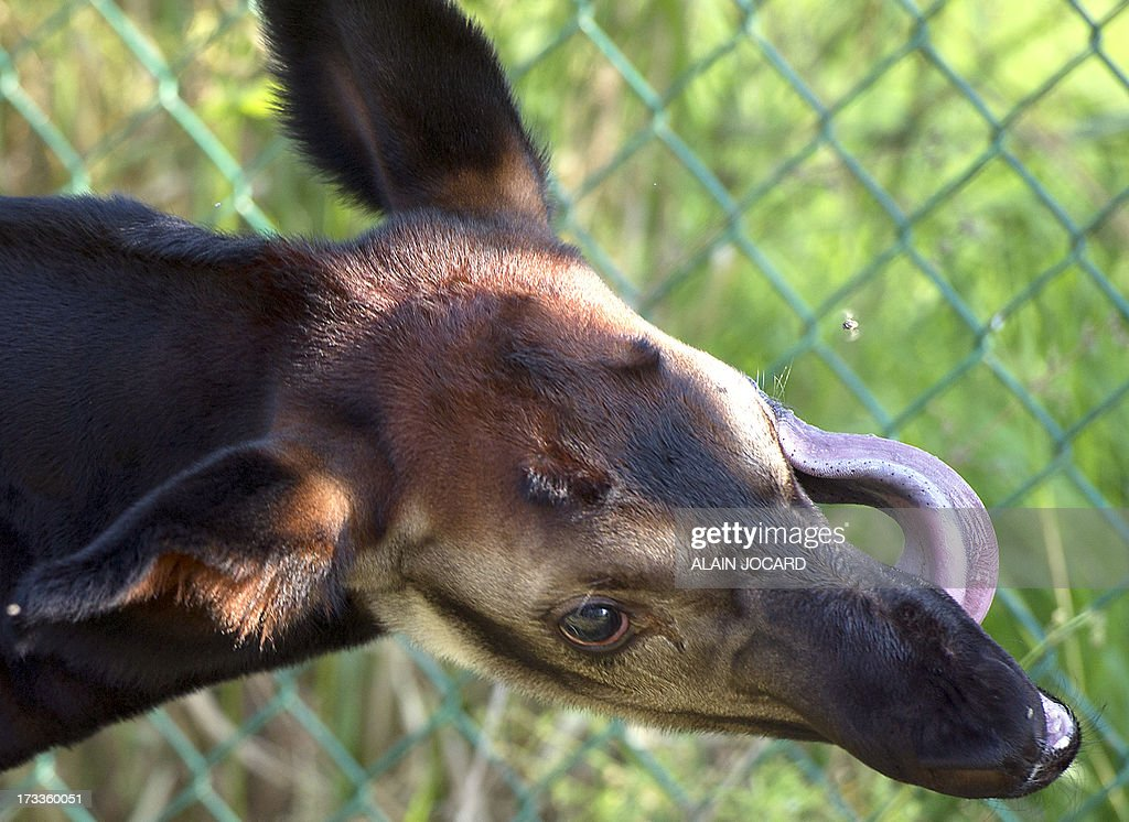 A baby okapi named 'Mbuti' (L) and born on June 23 is pictured on July 12, 2013 at the Beauval zoo in Saint-Aignan, central France.