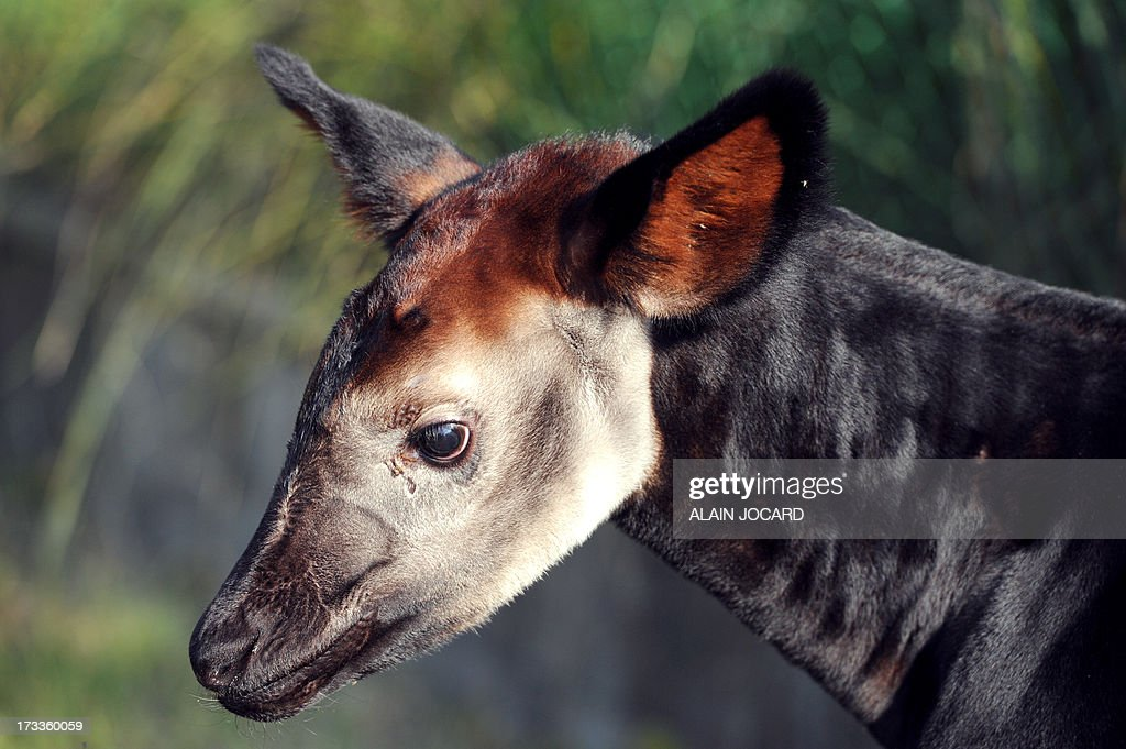 A baby okapi named 'Mbuti' and born on June 23 is pictured on July 12, 2013 at the Beauval zoo in Saint-Aignan, central France. AFP PHOTO / ALAIN JOCARD