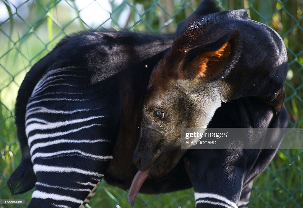A baby okapi named 'Mbuti', born on June 23, is pictured on July 12, 2013 at the Beauval zoo in Saint-Aignan, central France.