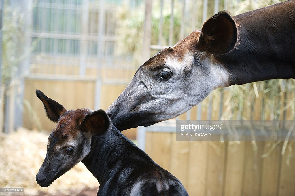 A baby okapi named 'Mbuti' (L), born on June 23, is pictured on July 12, 2013 with its mother 'kamina' at the Beauval zoo in Saint-Aignan, central France.