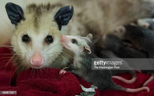 A baby opossum pauses from nursing to check in with its mother at the City Wildlife a wildlife rehabilitation center in Washington DC on May 14 2014...