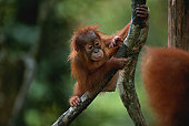 Baby orang utan (Pongo pygmaeus) hanging on tree, close up, Gunung Leuser N.P, Indonesia