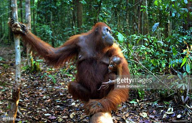A baby Orangutan hangs onto it's mother September 1 2001 near Camp Leakey at the Tanjung Puting National Park in Kalimantan on the island of Borneo...