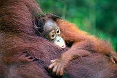Baby orang-utan hugging its mother in their native habitat. Rainforest of Borneo.
