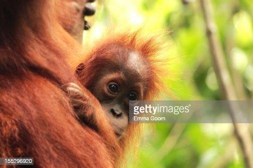 Baby Orangutan in the wild