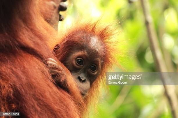 Baby Orangutan in the wild