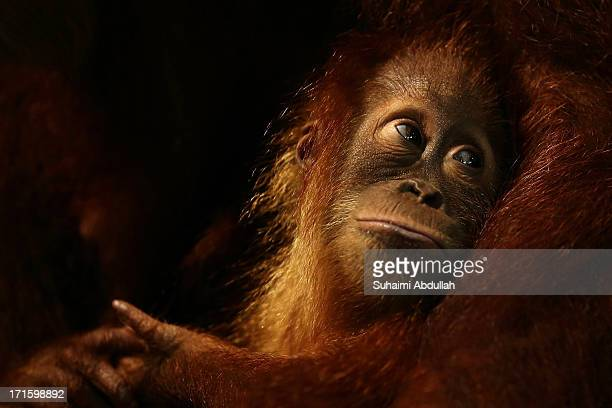 A baby orangutan is seen during the zoo birthday bash celebration at the Singapore Zoo on June 27 2013 in Singapore Home to more than 2800 animal...