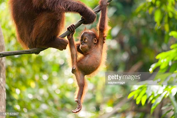 A baby orangutan playing on a rope and looking at its mother.