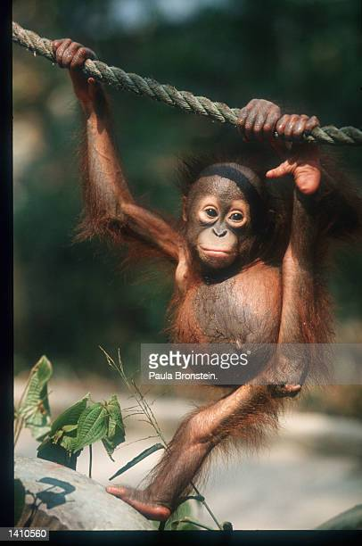 A baby orangutan plays March 15 1998 in East Kalimantan Indonesia Forest fires raging in the East Kalimantan region of Borneo have resulted in...