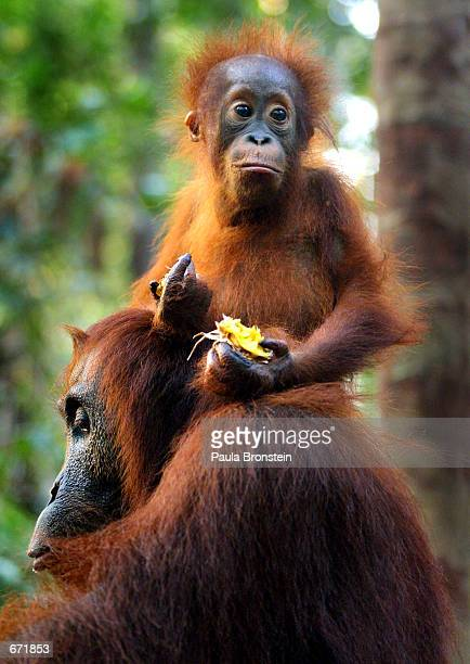 A baby Orangutan sits on the back of it's mother while eating fruit September 1 2001 near Camp Leakey at the Tanjung Puting National Park in...
