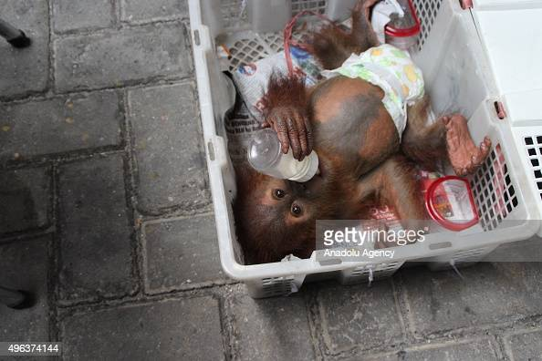 Baby Orangutan sucks milk from a baby bottle in a fruit basket during a press conference at Indonesia Police office on November 09 2015 in Pekanbaru...