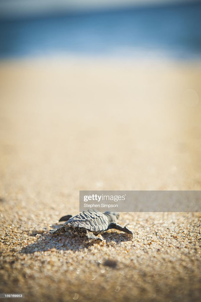 baby Pacific Green Sea Turtle heads for the ocean : Stock Photo