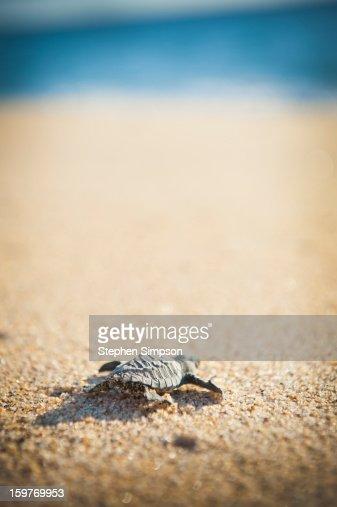 baby Pacific Green Sea Turtle heads for the ocean : Bildbanksbilder