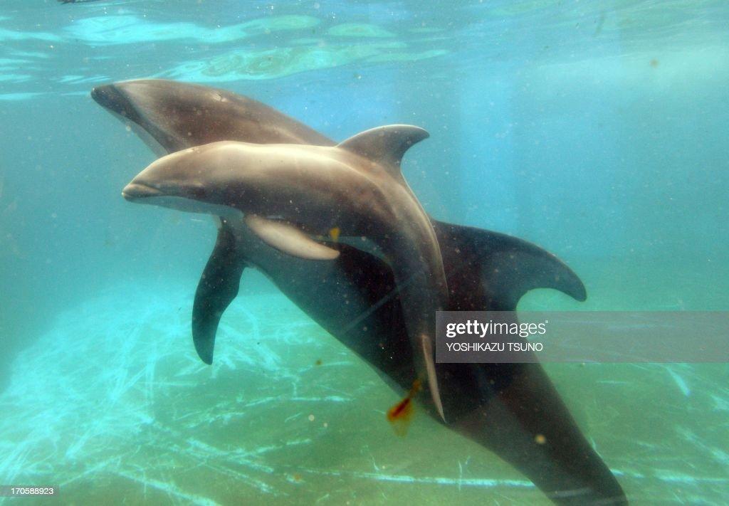 A baby Pacific white-sided dolphin, born on June 12, swims close to his mother Lulu at the Hakkeijima Sea Paradise aquarium in Yokohama, suburban Tokyo on June 15, 2013. AFP PHOTO / Yoshikazu TSUNO