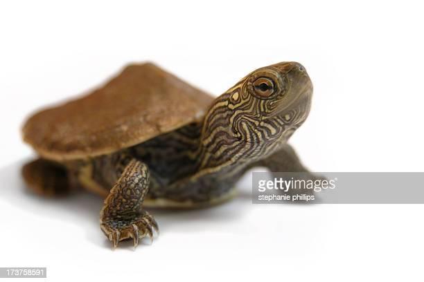 Bébé tortue peinte tenait son cou sur fond blanc