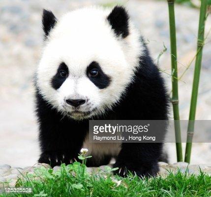 Baby panda bear, China