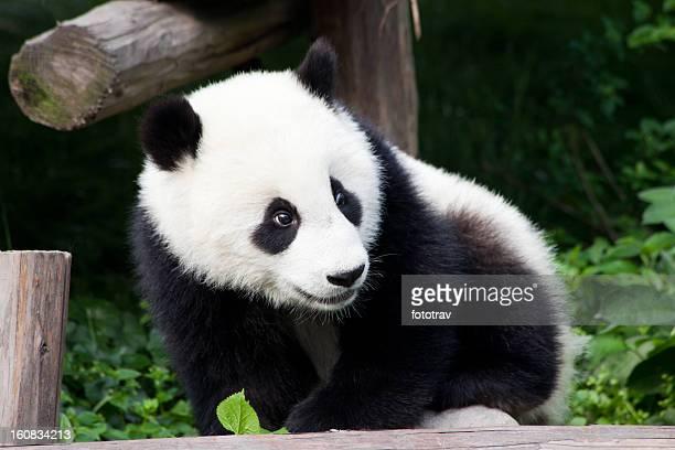 Baby Panda of China - Chengdu, Sichuan Province