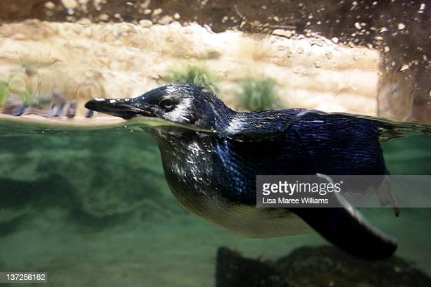 A baby penguin swims in a tank after being released at Sydney Aquarium on January 18 2012 in Sydney Australia Three baby penguins were released into...