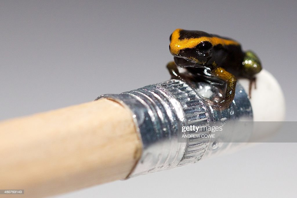 A baby Poison Dart frog sits on the end of a pencil at the London Aquarium in London on June 17 2014 The London Aquarium unveiled their recently born...