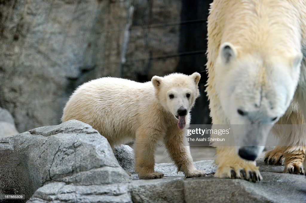 A baby Polar bear is open to public at Oga Aquarium 'GAO' on May 1, 2013 in Oga, Akita, Japan.
