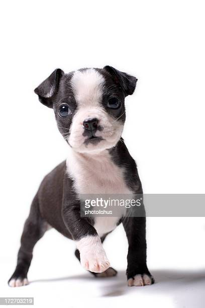 baby puppy - Boston Terrier Coloring Page