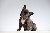 Baby Purebred French Bulldog Looking at the Camera (Head Cocked). Studio shot (indoors). White background. Horizontal format. Shot with Canon EOS 5D.