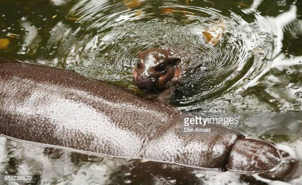 A baby pygmy hippo swims near her mother 'Kambiri' at Taronga Zoo on March 17 2017 in Sydney Australia Born on 21 February 2017 the calf is the first...