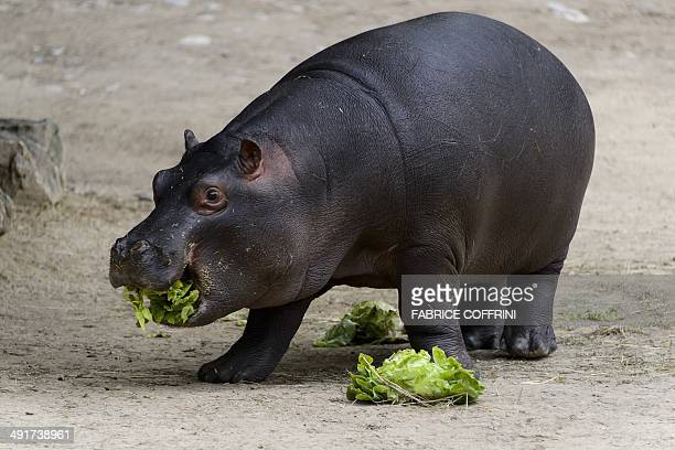 Baby pygmy hippopotamus 'Lani' eats a salad on May 17 2014 at the Basel Zoo It has been 14 years since a baby pygmy hippopotamus was last born at...