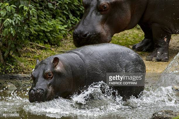 Baby pygmy hippopotamus 'Lani' has a bath next to its mother 'Ashaki' on May 17 2014 at the Basel Zoo It has been 14 years since a baby pygmy...