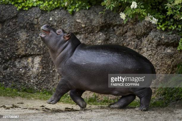 Baby pygmy hippopotamus 'Lani' walks on a path on May 17 2014 at the Basel Zoo It has been 14 years since a baby pygmy hippopotamus was last born at...