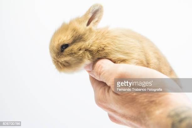 Baby rabbit in the owner's hand