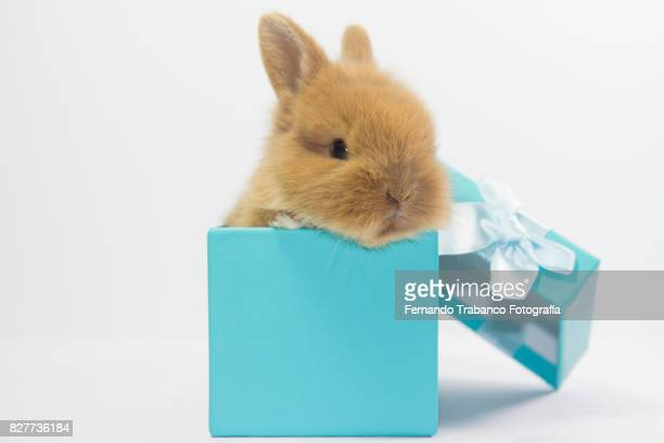Baby rabbit inside a gift box
