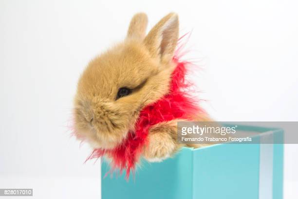 Baby rabbit inside a gift box with red scarf