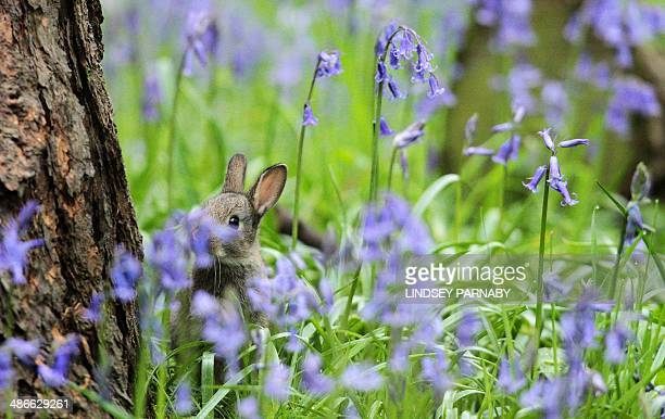 A baby rabbit is pictured amongst bluebell flowers in woodland in Scunthorpe northeast England on April 25 2014 AFP PHOTO / LINDSEY PARNABY