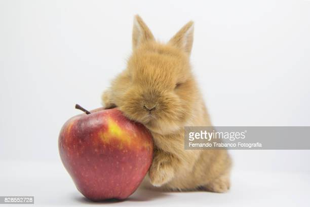 baby rabbit smell and eat an apple