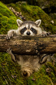 A baby raccoon slipping on a branch in the woods.