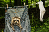A cute baby raccoon hiding in laundry drying on the clothes line in the yard.