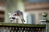 A small baby raccoon walking along a fence.