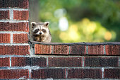 A cute baby racoon hiding from danger with copyspace.
