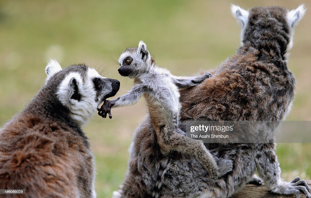 Baby ring-tailed lemurs cling onto their mother at Japan Monkey Centre on April 19, 2014 in Inuyama, Aichi, Japan.