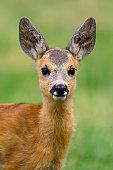 Baby roe deer on green summer meadow