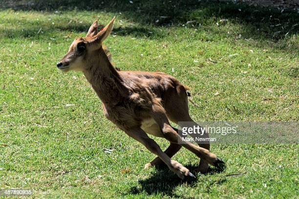 Baby Sable Antelope