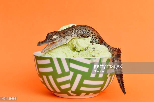 A baby saltwater crocodile pictured on a bowl of ice cream in Darwin Northern Territory to illustrate a story on a new flavour of ice cream has been...