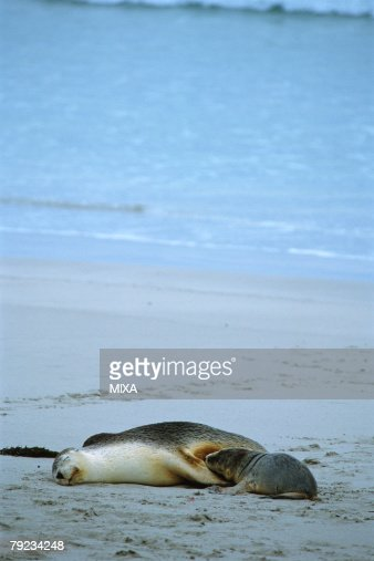 A baby sea lion drinking milk from its mother : Stock Photo