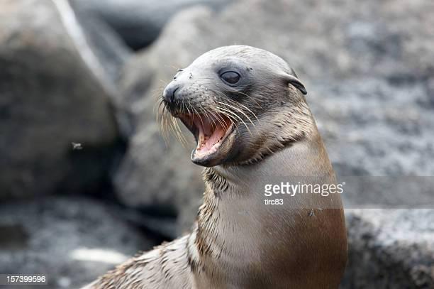 Baby sea lion pup on beach calling