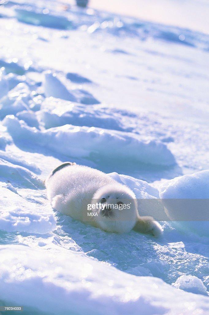 Baby seal lying on ice : Stock Photo