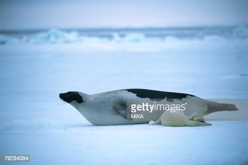 Baby seal nursing : Stock Photo