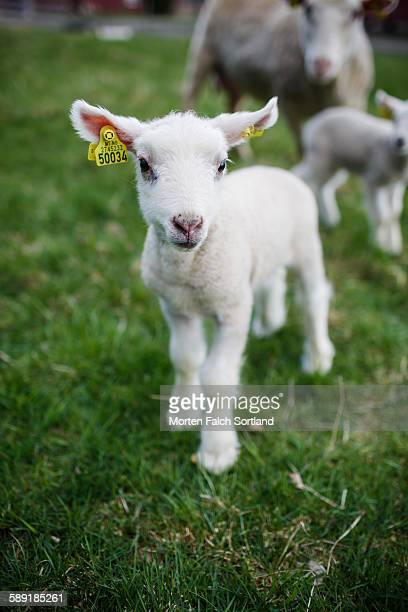Baby sheep approaching the camera
